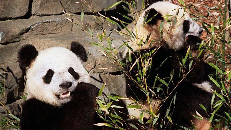 Twee reuzenpanda's in de VS. Dit zijn niet de panda's die Koning Willem Alexander heeft gekregen. Beeld AFP