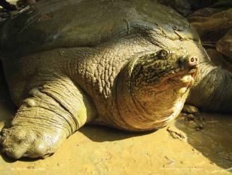 Zeldzame schildpad vindt potentiële partner in Vietnam: soort mogelijk gered van uitsterven