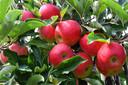 Extra zoete appels uit Sambeek.