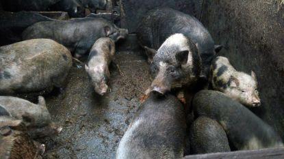 """34 zwaar verwaarloosde hangbuikzwijnen in beslag genomen: """"Zo uitgehongerd dat ze eigen biggen opaten"""""""