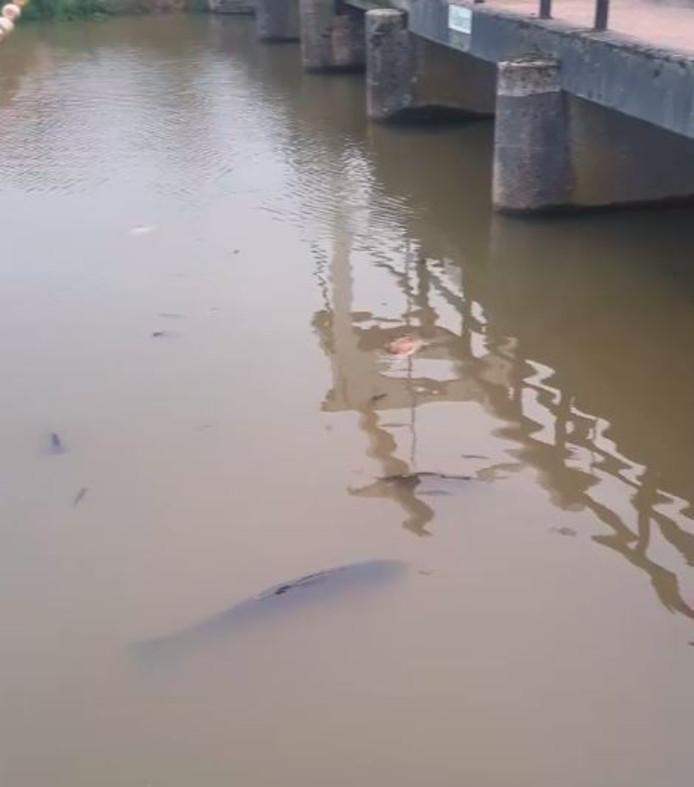 Dode vissen in de Berkel.