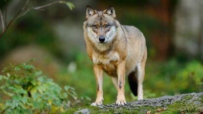 """Nieuwe wolf in Vlaanderen? Twee lammeren doodgebeten in Retie: """"Ondenkbaar dat dit door August of Noëlla gebeurde"""""""