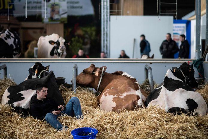 Een boer zit bij zijn koeien op een landbouwbeurs. Archiefbeeld.