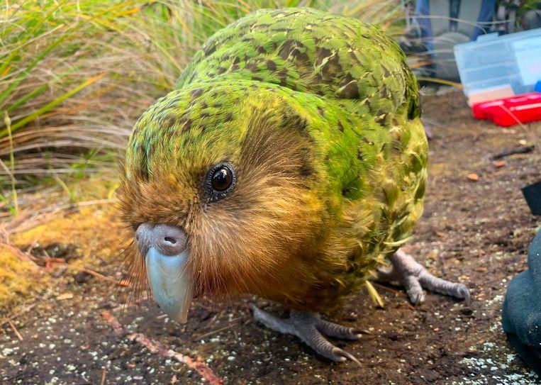 De kakapo is uniek. Met zijn 3,5 kilogram is hij de dikste papegaai ter wereld. Bovendien kan de vogel niet vliegen.