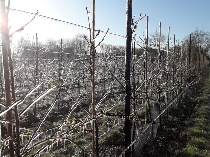 Joël Roks beschermt de bloesems van zijn appelbomen en perenbomen door ze te besproeien met water dat bevriest en een beschermend laagje biedt.