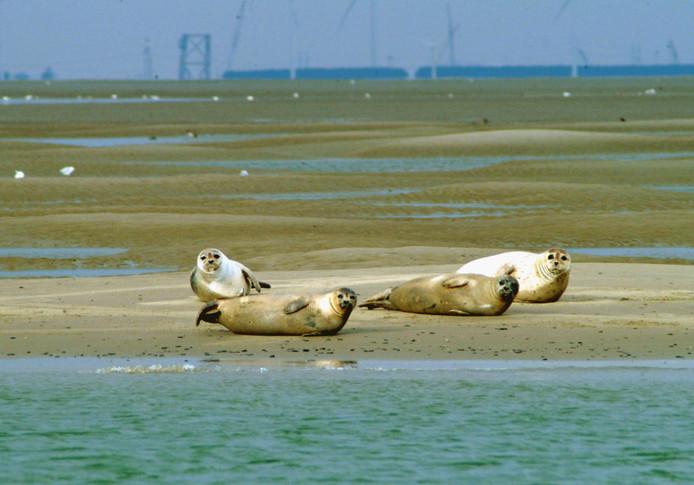 Zonnende zeehonden op de Hoge Platen in de monding van de Westerschelde.