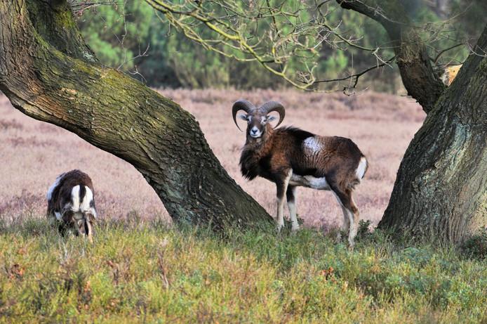 De Hoge Veluwe vreest dat de moeflons in het park worden opgegeten door de wolf.