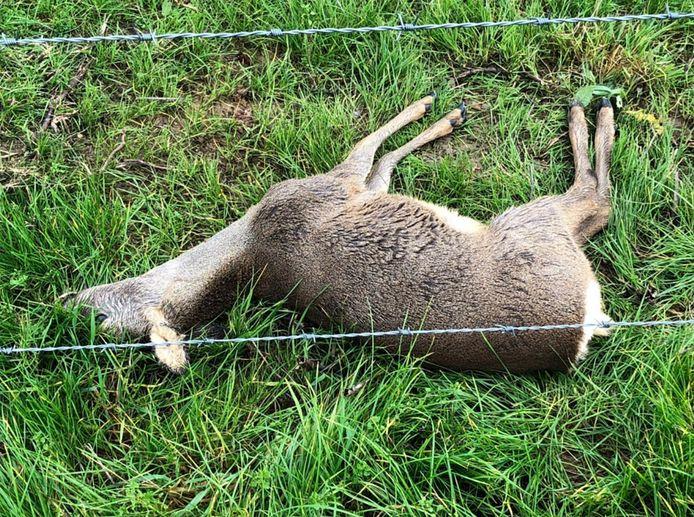 Eén van de twee reeën die recent stierven na een botsing met het prikkeldraad bij de Hoogwatergeul.