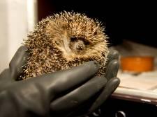 Egelopvang Zoetermeer waarschuwt voor nestelende dieren in tuinen