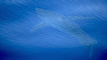Witte haai gespot in buurt van Mallorca