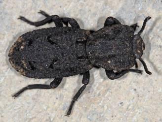 Zo sterk als een kever: zelfs een auto krijgt dit gevleugelde insect niet klein