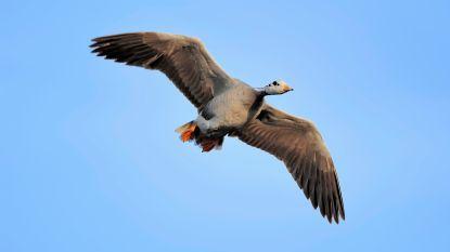Wat onmogelijk leek, is mogelijk: Indische gans kan over het Himalayagebergte vliegen