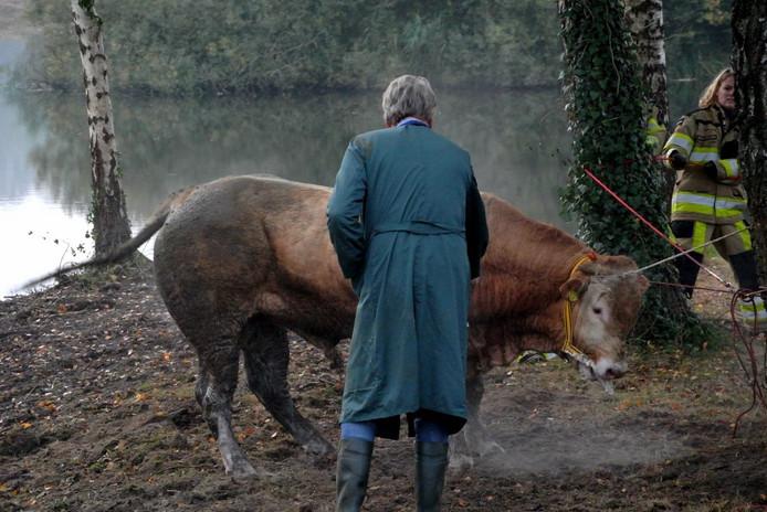 De dolle stier werd met touwen vastgezet en in bedwang gehouden.