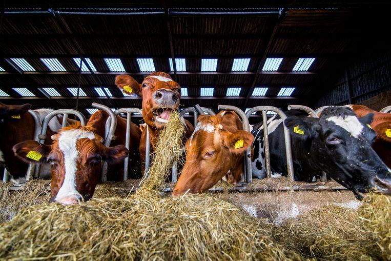 Uit koeienstallen ontsnapt veel meer stikstof dan werd aangenomen, blijkt uit onderzoek. Beeld ANP