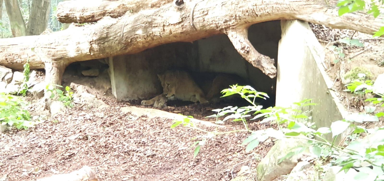 De welpjes zijn geboren in Burgers' Zoo.