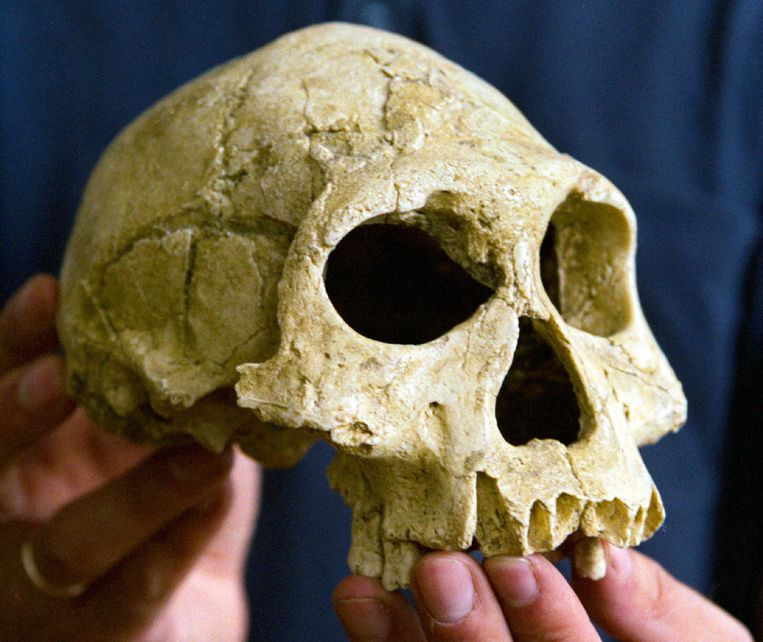 Waarschijnlijk een schedel van een homo erectus, opgegraven in de buurt van Dmanisi in Georgië.