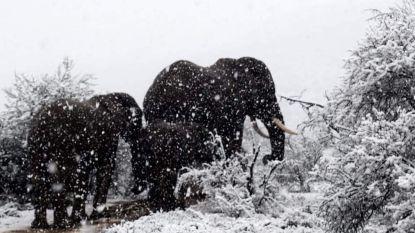 Zo'n dik olifantenvel komt nu wel van pas in Zuid-Afrika
