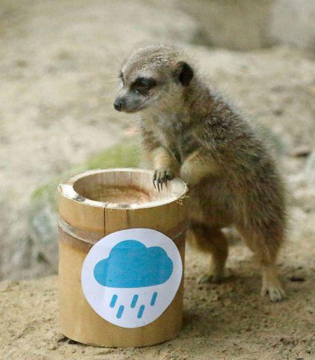 Stokstaartje in Dierenpark Amersfoort kan zo bij het KNMI aan de slag