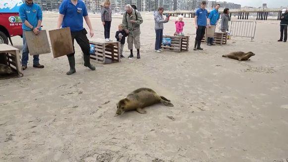 Zeehonden uitgezet in Blankenberge