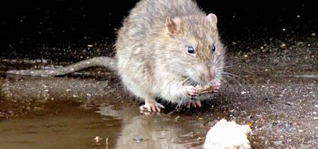 Vaker melding gemaakt van rattenoverlast