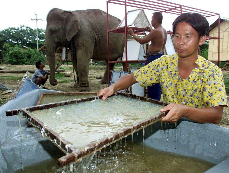 In Ayutthaya, Thailand, wordt papier vervaardigd van olifantenmest. Er worden uiteindelijk ansichtkaarten van gemaakt. Beeld X01006
