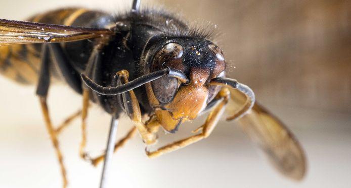 Een opgezette Aziatische hoornaar in museum Naturalis. ANP FRANK VAN BEEK