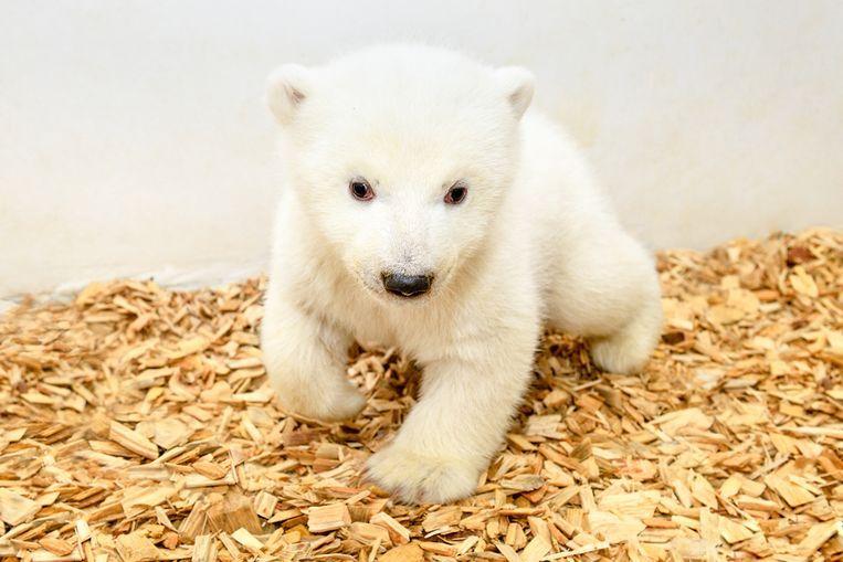Het elf weken oude ijsbeertje heeft nog geen naam.