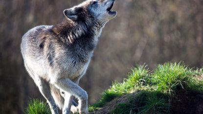 Wolf mogelijk onderweg vanuit Nederland naar Vlaanderen