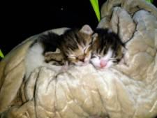 Drie kittens gevonden in kartonnen doos in Vragender