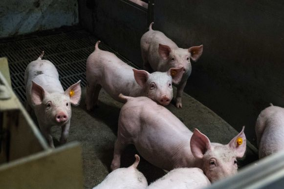 SamenGROEN is niet blij met een mogelijke uitbreiding van de varkensstallen in Zuurbemde.