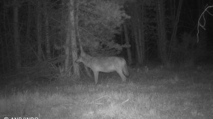 Veulen doodgebeten in Hasselt, INBO onderzoekt sporen naar wolf