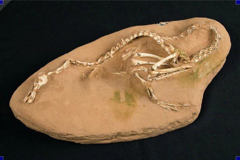 Het bewaarde skelet van de dino.