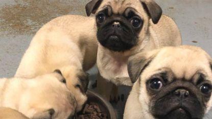 Schrijnende ontdekking na inval bij fokker in Lochristi: honden extreem verwaarloosd
