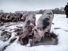 Smurrie of sneeuw: varkens voelen zich senang bij Herenboeren Boxtel