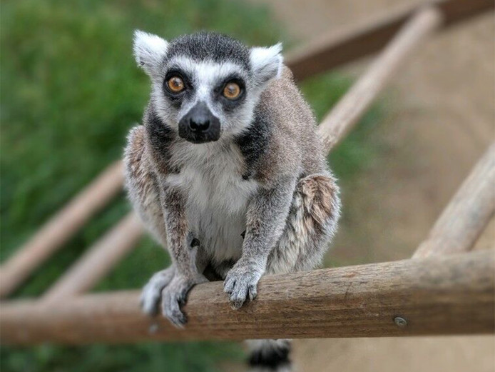 Isaac, un lémurien de 32 ans