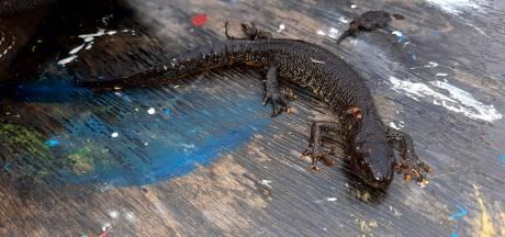 Kwetsbare salamander duikt op in Winterswijk: 'Hij zat mooi verscholen in de struiken'