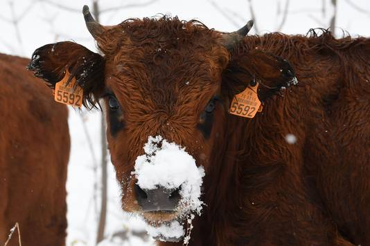 Een koe met sneeuw op zijn neus in Celliers, Franse Alpen.