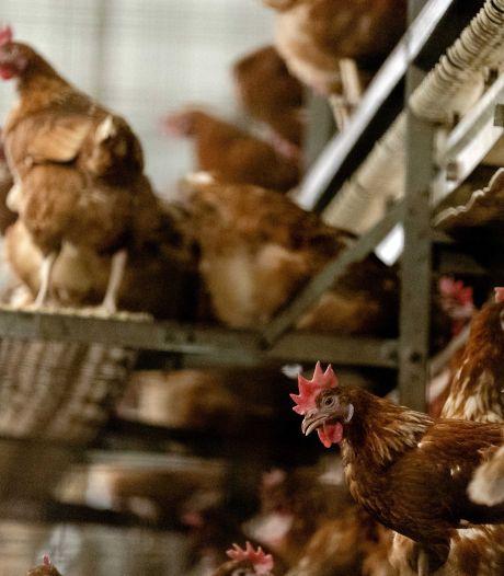 Besmettelijke vogelgriep vastgesteld in Gelderland, 35.700 kippen geruimd