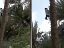 Video van de Dag | Deze geit maakt wel een heel bijzondere wandeling: in een boom...