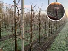 Vorst zorgt voor prachtige beelden van bevroren fruitbomen in Dronten