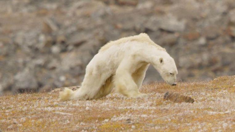 Onder invloed van klimaatverandering krimpt de oppervlakte van het zee-ijs op de Noordpool. Daardoor moeten ijsberen meer moeite doen om bij hun prooi te komen. Beeld Video SeaLegacy