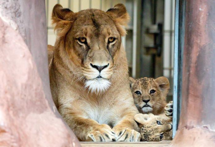 Leeuwen in een dierentuin