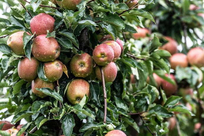 Plukken van de appelboom zit er dit jaar bij de meeste telers niet in.