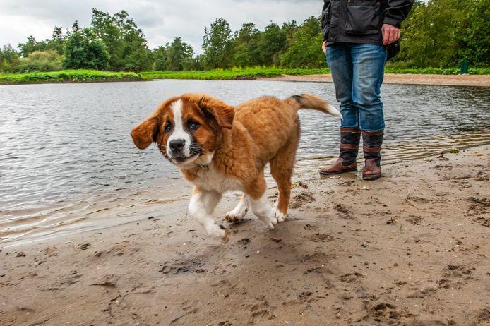 Buto van 15 weken kwam voor het eerst met zijn baasjes uit Oudewater spelen op het tweede hondenstrand nabij de Surfplas.