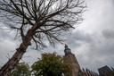 Een dode kastanjeboom op het 's-Gravenhof die binnen afzienbare tijd wordt gekapt.