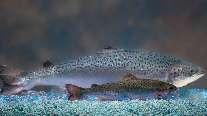 Op de achtergrond een genetisch gemodificeerde zalm van AquaBounty. Op de voorgrond het kleinere 'standaard' exemplaar. Beide zalmen zijn 18 maanden oud.