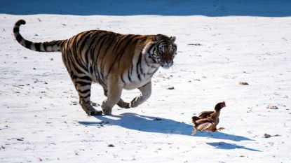 Meer conflicten tussen tijger en mens door stijgend aantal Siberische tijgers