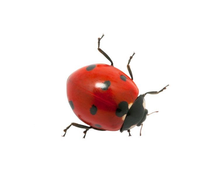 Ladybug isolated on the white insecten tellen Beeld