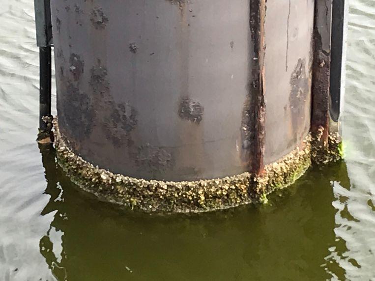 Mosselen in het Boudewijnkanaal door de verzilting.