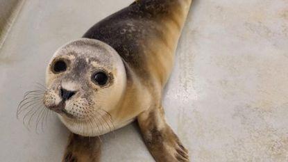 Eerste zeehondje aangespoeld